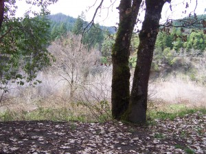 Klamath Forest Tree Trunks